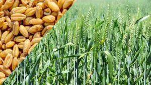 गेहूं के उन्नत बीज का सफल परीक्षण, फसल को तीन महीने तक नहीं चाहिए पानी और खाद